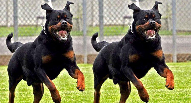 कुत्तों के घेरने पर हबराये नहीं, जानिये कैसे करें अपना बचाव